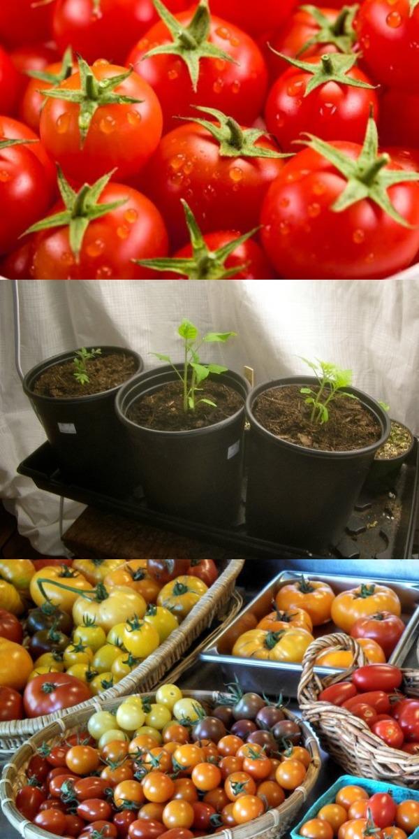 Если Вы хотите большой урожай помидоров в этом году, Вы должны сделать это