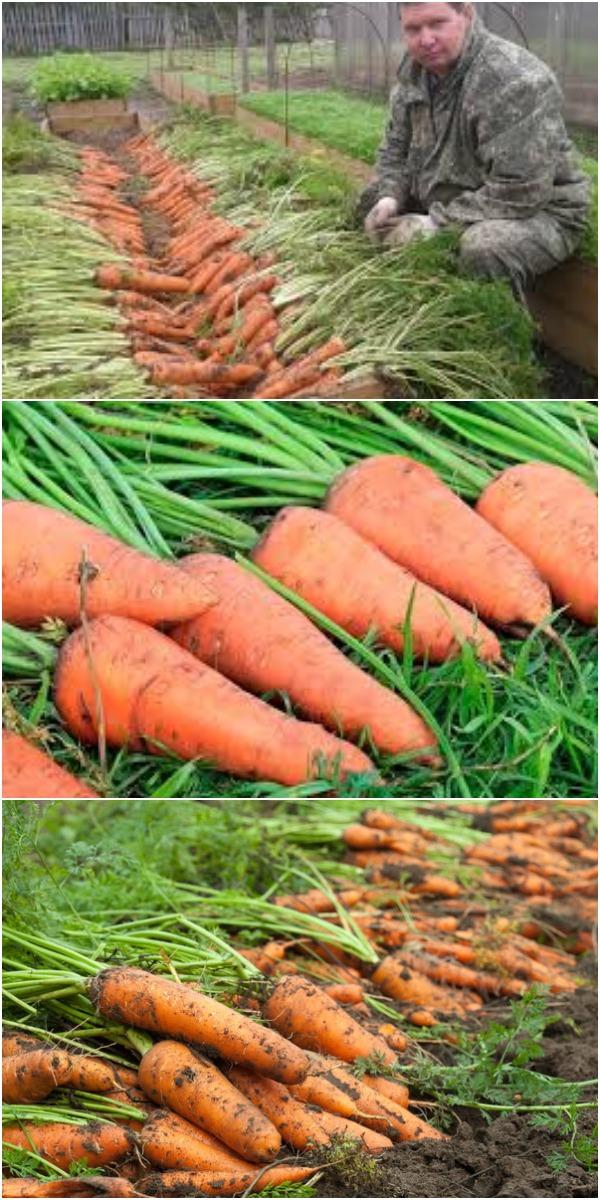 Как на 2,4 м² получить урожай моркови, которого хватит до следующего сезона