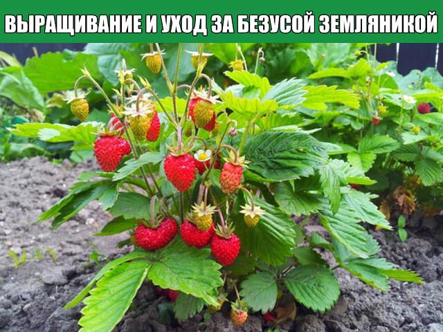 Описание сортов, выращивание и уход за безусой земляникой.