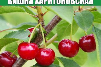 Вишня Харитоновская: характеристика сорта, условия посадки и уход.